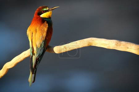 European Bee-eater (Merops apiaster) perched on a branch in the early morning sun