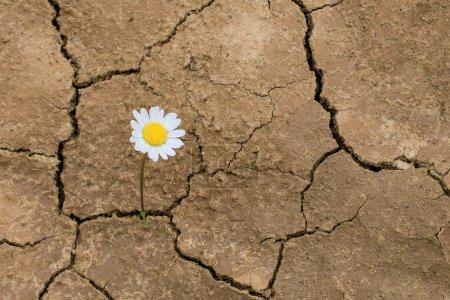 Photo pour Fleur dans le désert est la marguerite terrestre sèche - image libre de droit