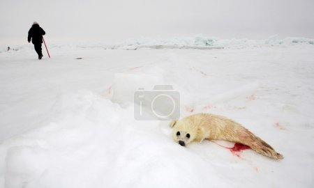 Baby harp seal pup on ice of the White Sea - ecotourism in Arctic