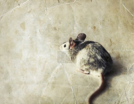 Cute gray and white mouse.