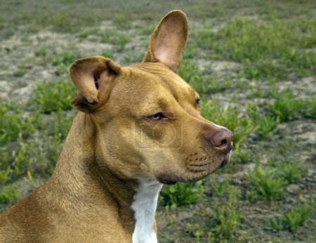 Pit bull  dog looking away