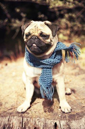 Beautiful male pug puppy dog