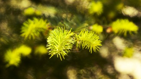 green fir tree or pine branches