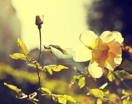 Photo pour Vieille carte postale vintage grunge avec de belles roses. Carte de fleurs. Belle rose aux bourgeons. Valentines fond de fête - image libre de droit