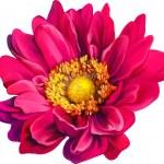 Mona Lisa flower, Pink flower, Spring flower.Isola...