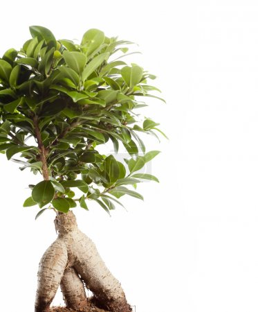 Photo for Bonsai Ficus Ginseng isolated on white background - Royalty Free Image
