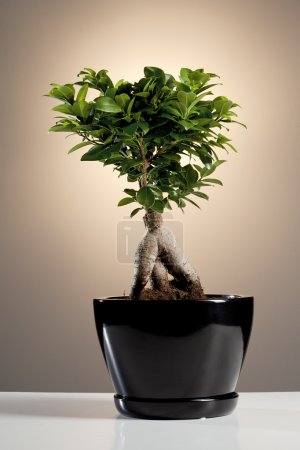 Photo for Bonsai Ficus Ginseng - Royalty Free Image