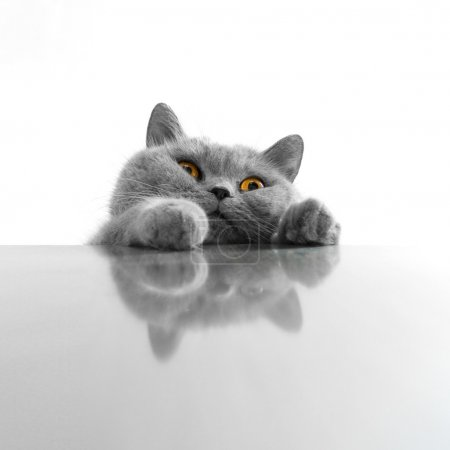Photo for Cute gray cat isolated on white background - Royalty Free Image