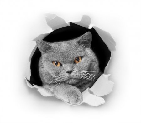 British shorthair gray cat