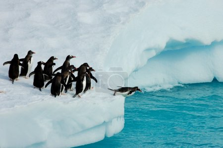Adelie penguins ready to dive