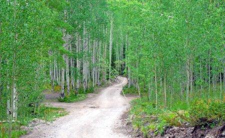 Photo pour Chemin de terre à travers la forêt de trembles - image libre de droit