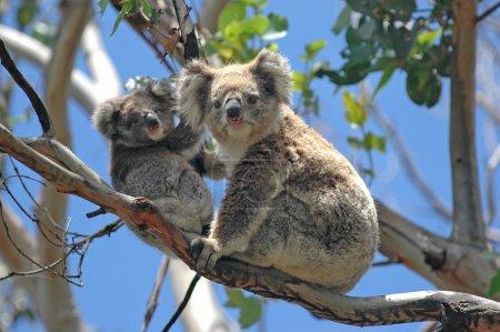 Photo pour Wild Koalas le long de Great Ocean Road, Victoria, Australie - image libre de droit