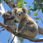 Wild Koalas along Great Ocean Road, Victoria, Aust...