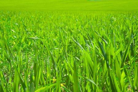 Photo pour Champ d'herbe verte - image libre de droit