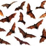 Spooky Halloween flying fox fruit bats in sky comp...