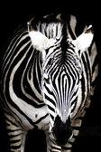 Zebra černá a bílá