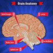 Постер, плакат: Brain function human brain anatomy with Basal Ganglia Cortex Brain Stem Cerebellum and Spinal Cord vector eps10