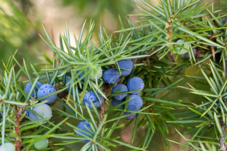 Provence juniper branch close-up...