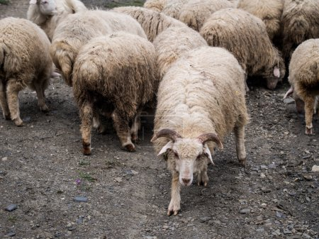 Sheep in Tusheti region, Georgia