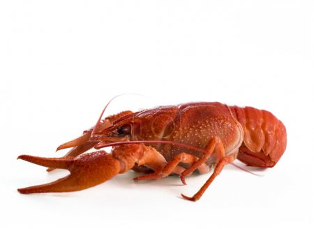 Photo for Red craw fish isolate on white background - Royalty Free Image