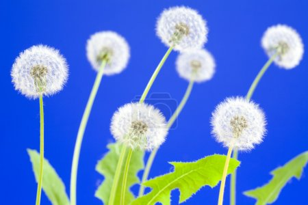 Dandelions on blue