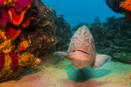 Groupers from the sea of cortez