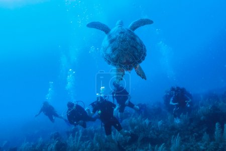 Green turtle and divers