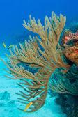 Coral reef, Caribbean sea.