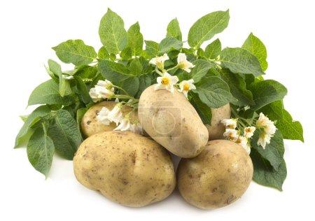 Foto de Patatas con flores y hojas aisladas en blanco - Imagen libre de derechos
