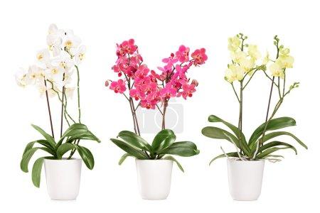 Foto de Tres orquídeas florecen en macetas, aisladas sobre fondo blanco - Imagen libre de derechos
