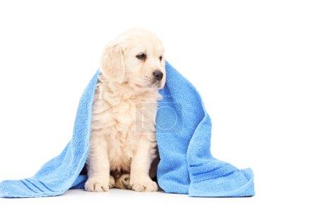 Labrador retriever covered with towel
