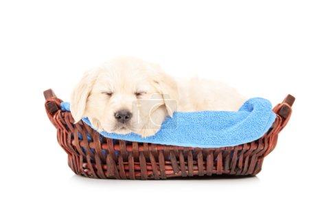 Labrador puppy dog in basket
