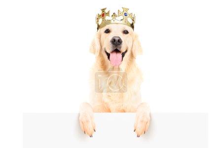 Retriever dog wearing crown