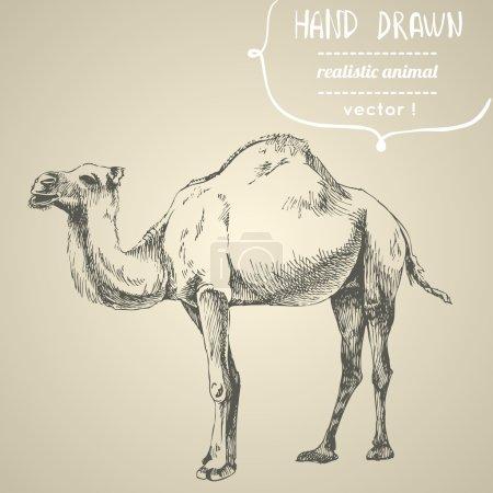 Illustration pour Un chameau. Illustration vectorielle dessinée main. Peut être utilisé séparément de votre conception . - image libre de droit