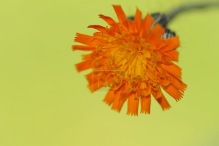 Orange flower on green background. Macro....