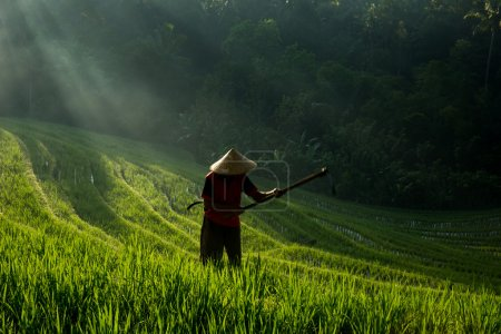 A farmer working on the rice fields