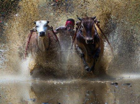Photo pour Pacou jawi est un événement de course de taureau célébrant la fin du riz plantant la saison et le début d'une nouvelle. une volonté de jockey dirige deux taureaux à travers les rizières boueux dans la course de taureau qui est a participé entre différents villages. - image libre de droit