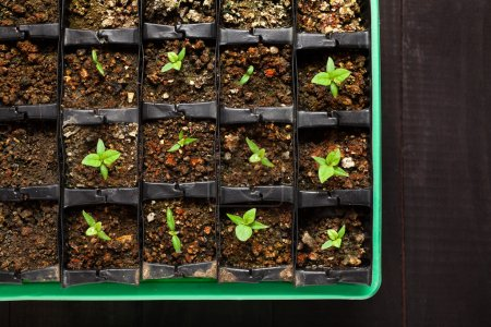 Photo for Moruga scorpion plants seedling in plastic tray. 11 day after sowing. - Royalty Free Image