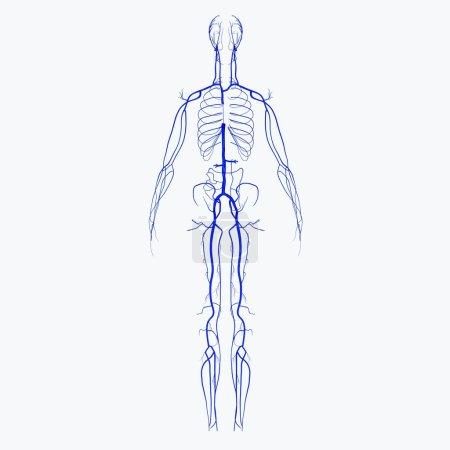 Photo pour Dans le système circulatoire, les veines sont des vaisseaux sanguins qui transportent le sang vers le cœur. la plupart veines carry désoxygéné sang des tissus vers les exceptions de cœur sont les veines pulmonaires et ombilicales, - image libre de droit