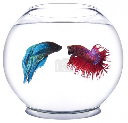 Photo for Beta fish in a fish bowl - Royalty Free Image