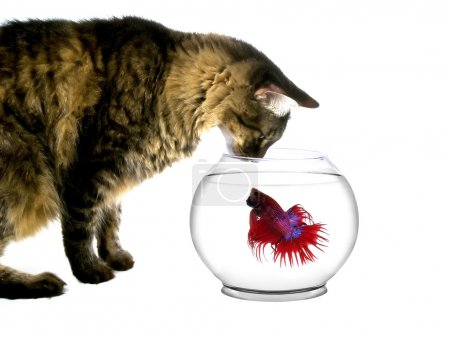 Photo for Cat looking into a fishbowl - Royalty Free Image