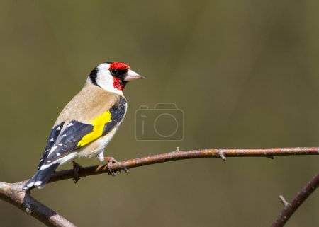 Goldfinch (Carduelis-carduelis) perched on a branc...