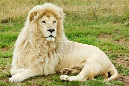 Photo pour Beau lion blanc mâle couché dans une herbe - image libre de droit
