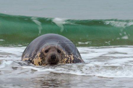 Photo pour Phoque gris dans l'eau - image libre de droit
