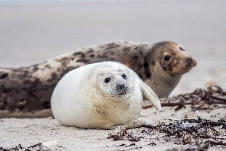 Photo pour Un chiot de jeunes phoques gris (halichoerus grypus) attend sa ' mère au retour de mer - image libre de droit