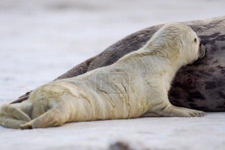 Photo pour Un jeune chiot de phoque gris (Halichoerus grypus) sucer le lait maternel - image libre de droit