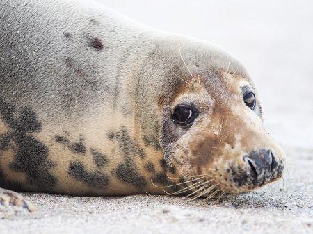 Photo pour Phoque gris sur la plage - image libre de droit
