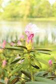Pobočka rododendron Bushe v přirozeném prostředí