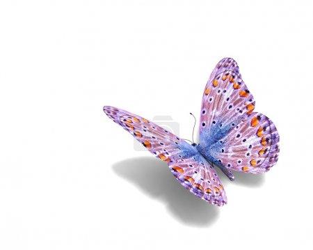 Photo pour Papillon isolé sur blanc. Art et design concept. espace pour votre texte - image libre de droit