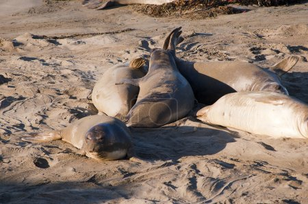 Elephant seals on a beach on the big Sur in California USA